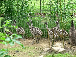 Who knew baby emu's were striped?