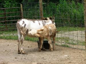 Nursing Donkey