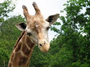 Giraffe posing for the camera :)