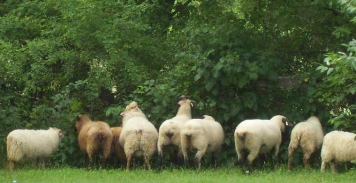Local Business Spotlight of the Week: Woollyboogers Icelandic Sheep