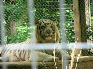 White tiger is not amused
