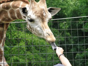 Giraffe being fed