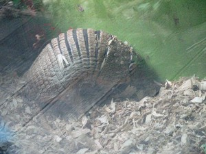 Finally got to see a live armadillo!  I saw plenty of dead ones when visiting my ex in Texas/Arkansas, but never live!