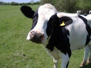 Dairy Cows in Gettysburg Pennsylvania