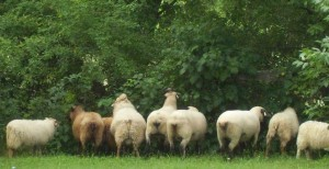 Woolyburgers Icelandic Sheep